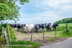 koeien-1