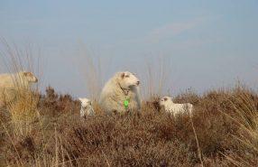 schapen hei -Bart van der Linden