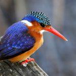 IJsvogels spotten langs de oevers van de Swalm