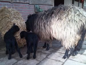 Kasteelpark Born Lammetjes zwart