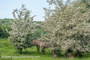 eijsder beemden paarden-3