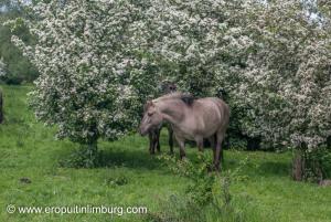 eijsder beemden paarden-4