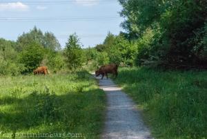 schinveldse bossen koeien (1 van 5)