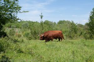schinveldse bossen koeien (3 van 5)