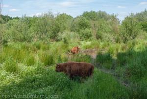 schinveldse bossen koeien (4 van 5)